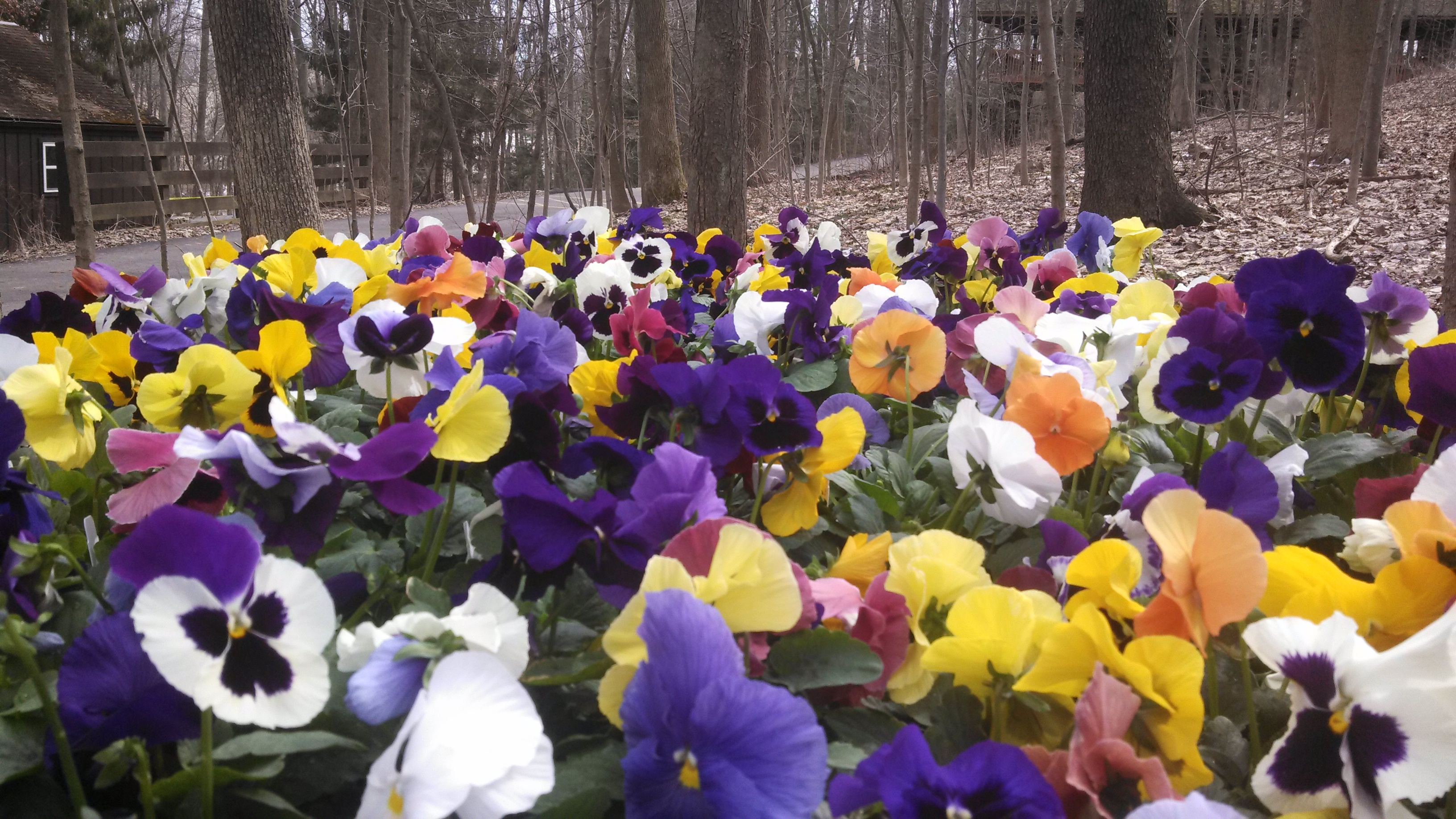 Pansy garden at Amish Country Hotel